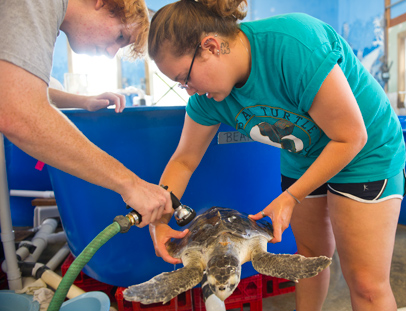 UNCG senior Zoe Goldstone holds a sea turtle as another intern helps with a daily cleaning for the turtle.