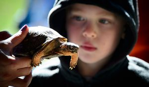 Photo of child viewing box turtle