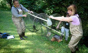 Photo of HERPS staff holding circular net containing a turtle