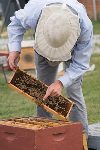 Bee keeper (Dr. Olav Ruepell) works with bees.