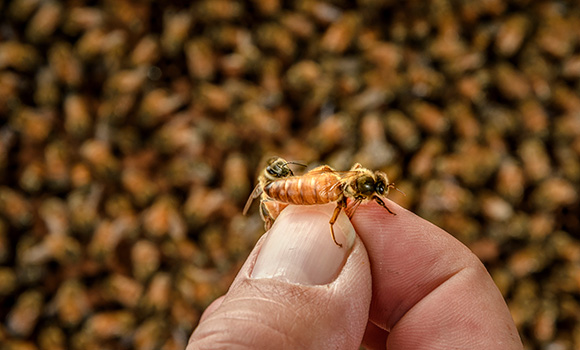Social Insect Lab investigates honey bee health
