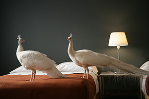 Two peacocks on a hotel bed.