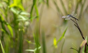 Photo of dragonfly on reed in wetland